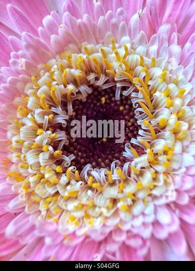 Gerbera daisy taken with a macro iPhone attachment - Stock Image