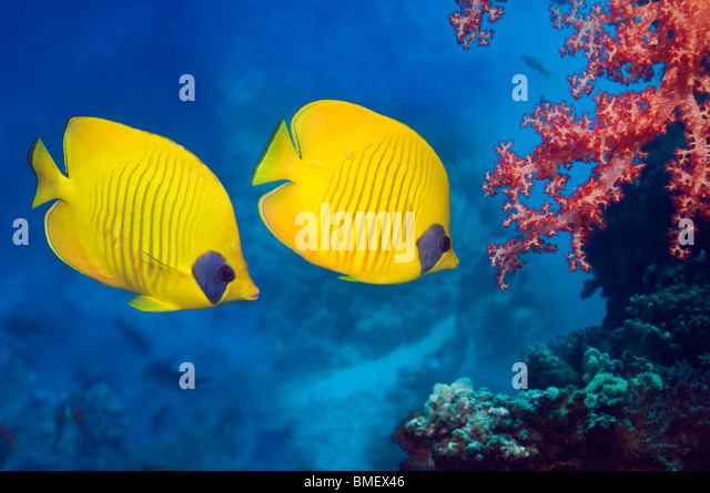 Golden butterflyfish with soft coral on reef.  Egypt, Red Sea. - Stock Image
