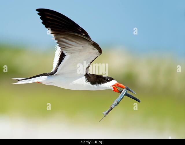 Black Skimmer in Flight with Northern Pipefish - Stock-Bilder