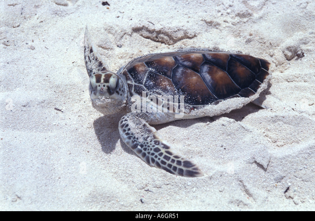 Green Sea Turtle Hatchling on Beach in Bright Sunlight - Stock Image