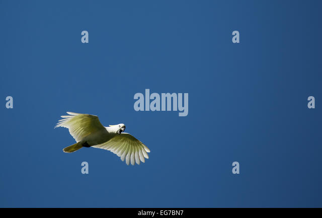 Sulfur crested cockatoo photographed in Sydney Botanical Gardens, Australia - Stock Image
