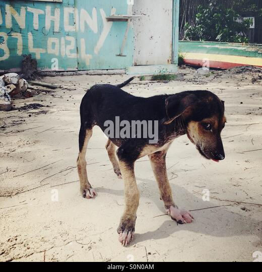 Bashful puppy on the beach in Jamaica. - Stock Image