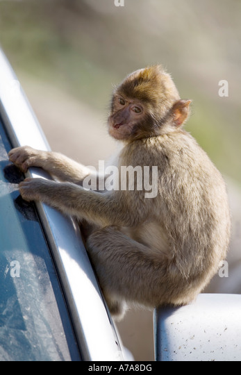 Young Gibraltar Ape sitting on a car wing mirror, Upper Rock Nature Reserve, Gibraltar, Europe - Stock Image