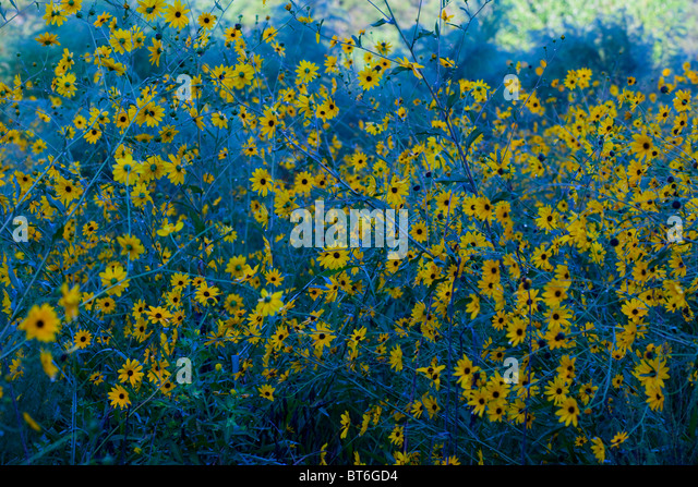 Southern daisy's - Stock Image