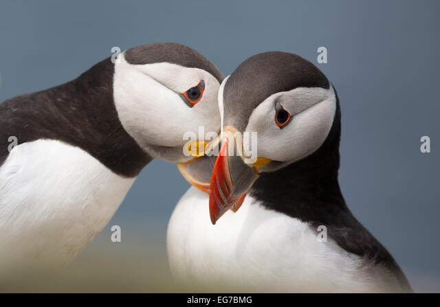 Atlantic puffin photographed on the Farne Islands, Northumberland UK - Stock Image
