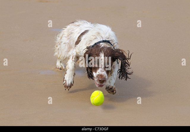 English Springer Spaniel chasing a ball on sandy beach - Stock Image