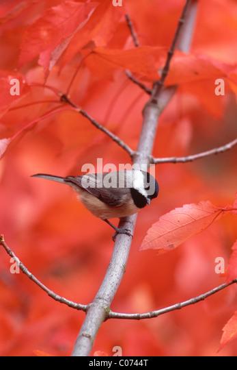 Carolina Chickadee perching in Fall Maple Tree - vertical - Stock-Bilder