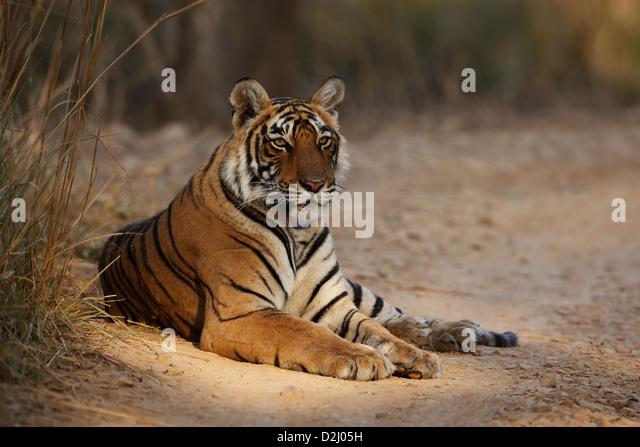 Wild Bengal tiger, Panthera tigris, lying on track, Ranthambore N P, India - Stock-Bilder