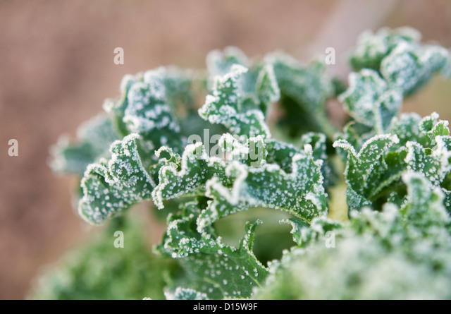 Kale leaves covered in frost in a garden in December. - Stock Image