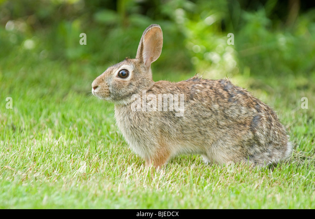 Eastern Cottontail (Sylvilagus floridanus) on grass. - Stock Image