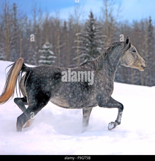 Gray dapple Arabian running in winter meadow - Stock Image