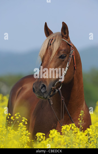 Quarter Horse (Equus ferus caballus). Portrait of a chestnut stallion standing in flowering rape. - Stock Image