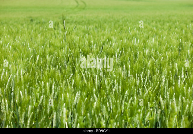 wheat field in spring . one ear out of the mass - Stock Image