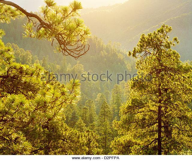 Ponderosa pines [Pinus ponderosa] in the 'Black Range' [Gila Wilderness Area] [Gila National Forest] 'New - Stock Image