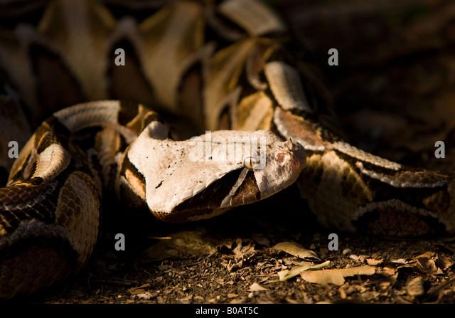 Close up of Gaboon Viper (Bitis gabonica) showing horned nostrils and distinctive bronze leaf pattern - Stock Image