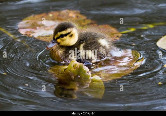 Mallard ducklings close up shot - Stock Image