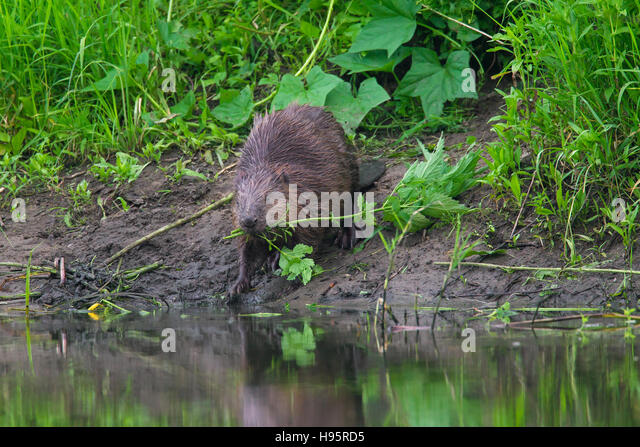 Eurasian beaver / European beaver (Castor fiber) on pond bank dragging plant with leaves for food cache to water - Stock Image
