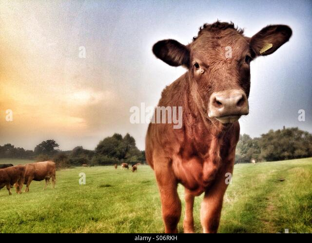 Young cow in field looking into camera - Stock Image