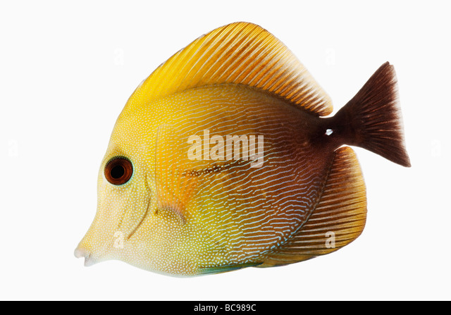 Brown tang fish marine reef fish also known as Brown Scopas Tang and Two Tone Sailfin Tang Dist Central and South - Stock Image