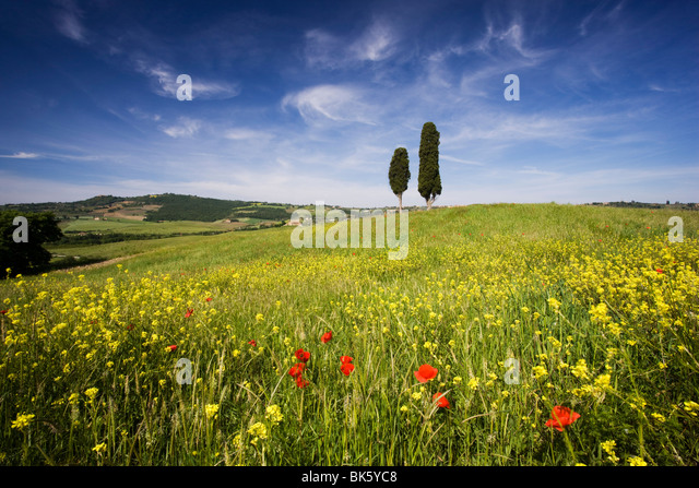 Field of poppies and oil seed with two cypress trees on brow of hill, near Pienza, Tuscany, Italy, Europe - Stock-Bilder