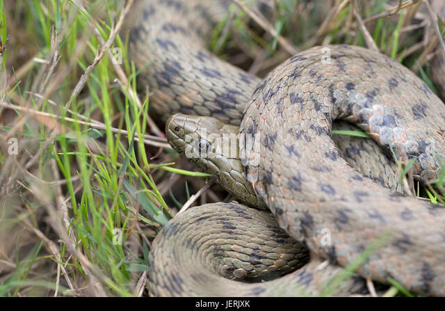 Dice Snake (Natrix tessellata) - Stock Image