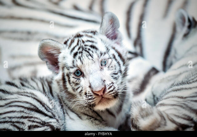 Liberec, Czech Republic. 25th Apr, 2016. A pair of two-month baby white tigers cuddle with their mother Surya Bara - Stock Image