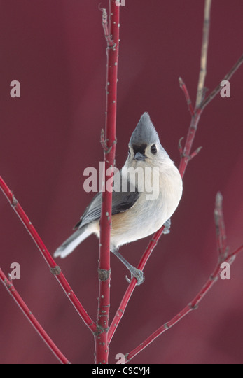 Tufted Titmouse in Red Twig Dogwood - Vertical - Stock Image