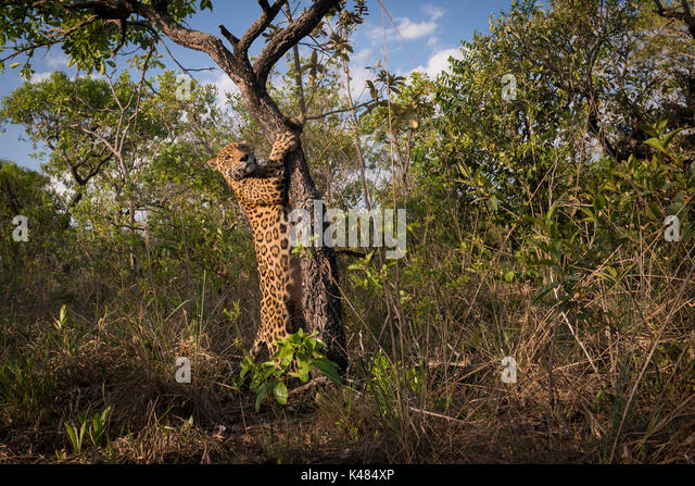 A Jaguar caught in the act of marking its territory on a small cerrado tree in Central Brazil - Stock Image