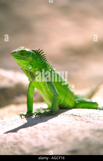 A green Iguana posing for a photograph in the beautiful island of Aruba - Stock-Bilder