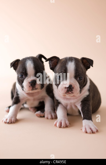 Two Boston Terrier Puppies - Stock Image