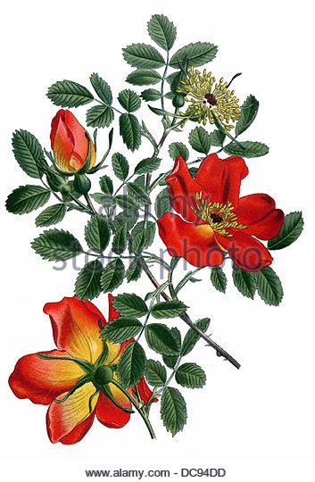 Rose Lutea - Stock-Bilder