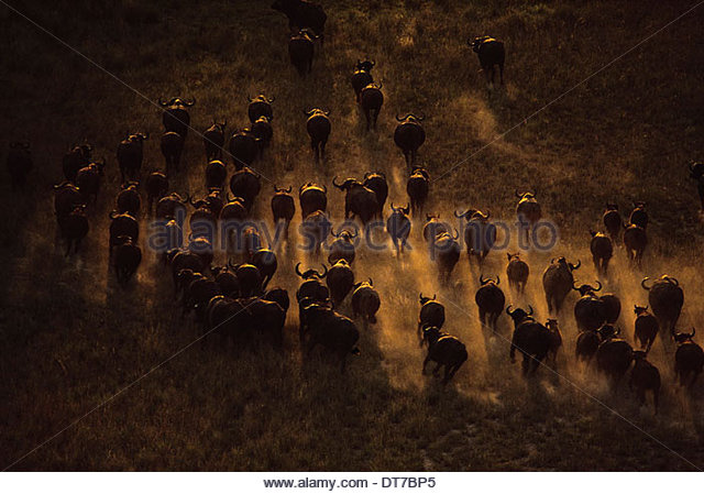 Syncerus caffer caffer Cape buffalo herd seen from the air moving across the landscape in Botswana Botswana - Stock-Bilder