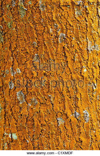 Trentepohlia Algae on Quercus ellipsoidal, Northern Pin Oak tree bark - Stock Image