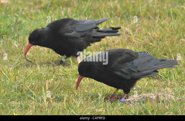 Chough Cornish Stock Photos Amp Chough Cornish Stock Images