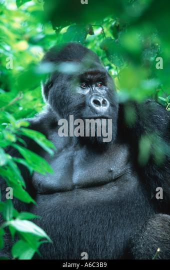 Mountain Gorilla Gorilla gorilla beringei Silverback male Endangered Localised Rwanda Western Uganda Eastern DRC - Stock Image
