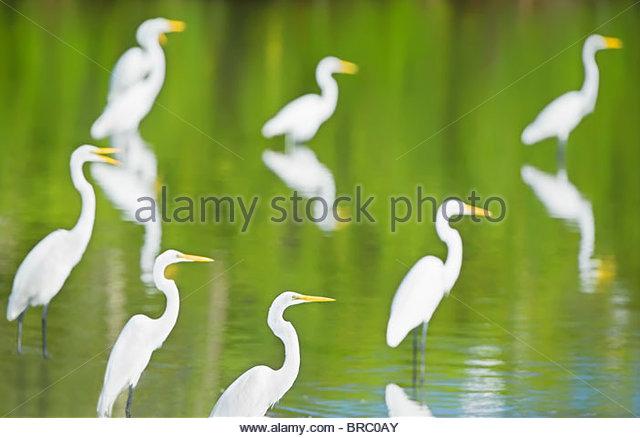 Great Egrets in a pond looking for fish, Sanibel Island, J. N. Ding Darling National Wildlife Refuge, Florida, USA - Stock Image