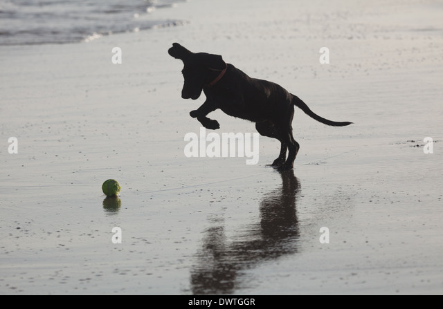Young Labrador dog playing on the Pacific coast in Cocle province, Republic of Panama. - Stock-Bilder
