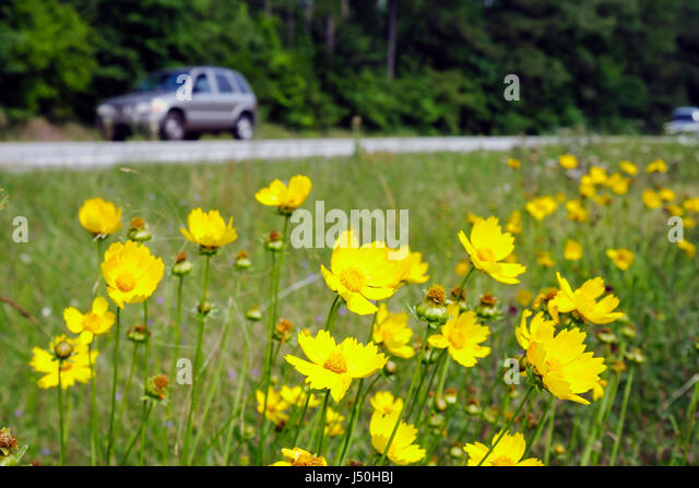 Alabama Millry State Road 17 wild flowers coreopsis yellow grandiflora blooming plant perennial blossom - Stock Image