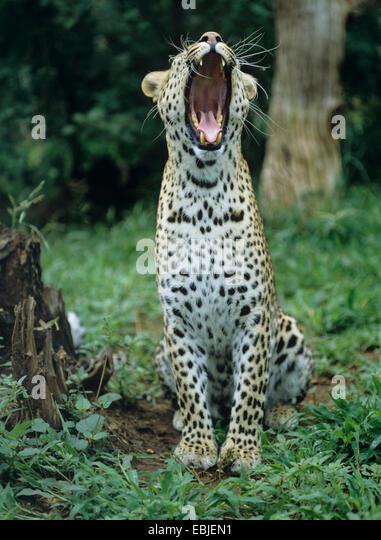 leopard (Panthera pardus), yawning, Zimbabwe - Stock Image