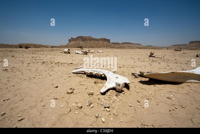 Camel bones in the desert outside Riyadh, Saudi Arabia - Stock Image