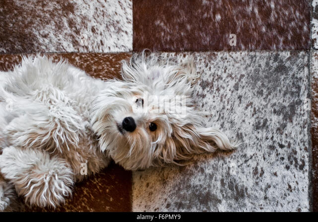 fun light hearted shaggy white mutt dog lay on back eye contact looking up to camera on red white square tiled pony - Stock Image