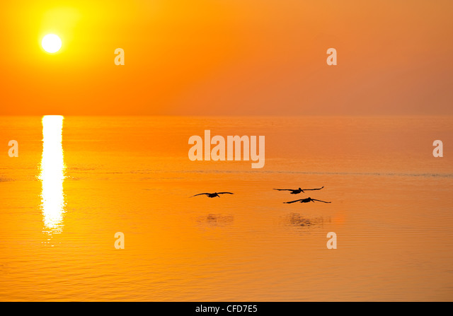 Three Brown Pelicans at sun rise, Florida Keys, Florida, United States of America. - Stock Image
