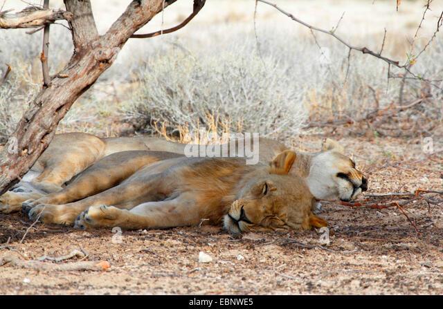 lion (Panthera leo), two animals sleeping under a tree, Namibia, Etosha National Park - Stock Image