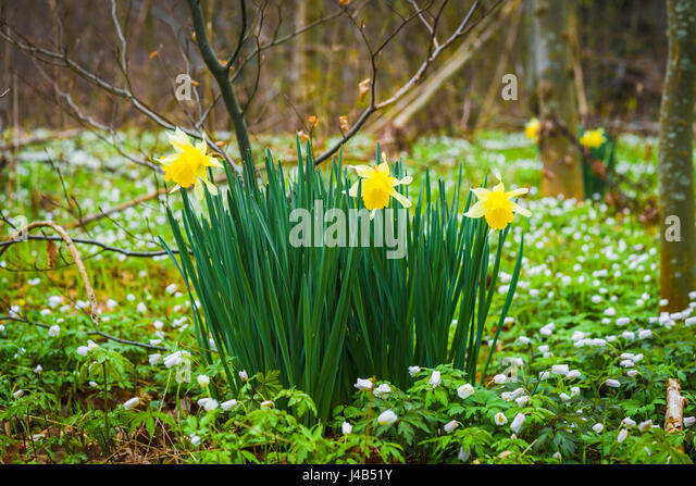 Daffodil flowers on a green meadow with white anemone wildflowers near a forest in the spring - Stock Image