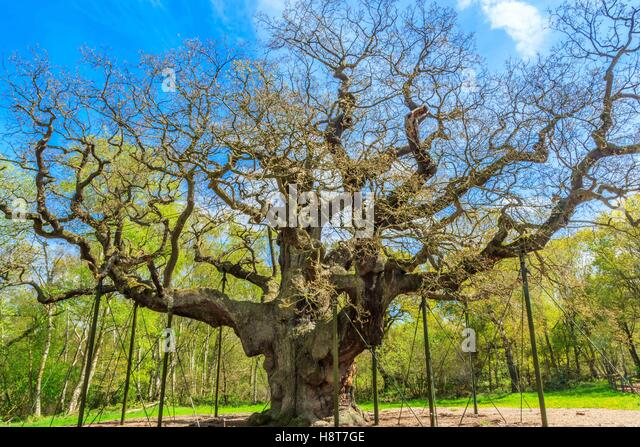 The Great Oak in Sherwood Forest home to Robin Hood and his merry men. - Stock Image