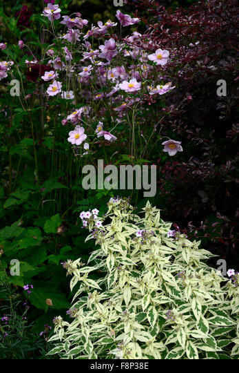 Phlox paniculata Norah Leigh Anemone huphensis pink flowers flower flowering contrast late summer autumn colour - Stock Image