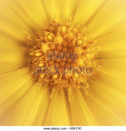 Macro Image of a Marigold Flower - Stock Image