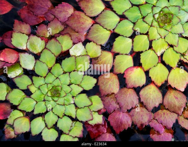 Close up of Mosaic Plant. Floating Leaves. Luguigia sedioides - Stock Image
