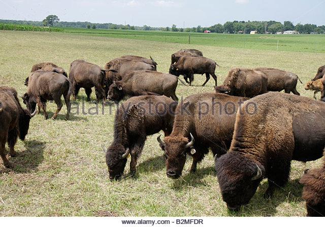 Indiana Valparaiso Wheeler Broken Wagon Bison group herd ranch farm bovine grazing animal brown shaggy coat agritourism - Stock Image