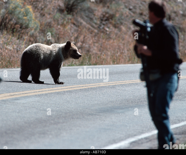 A wary grizzly bear and photographer just east of Yellowstone National Park COPYRIGHT DUANE BURLESON - Stock Image
